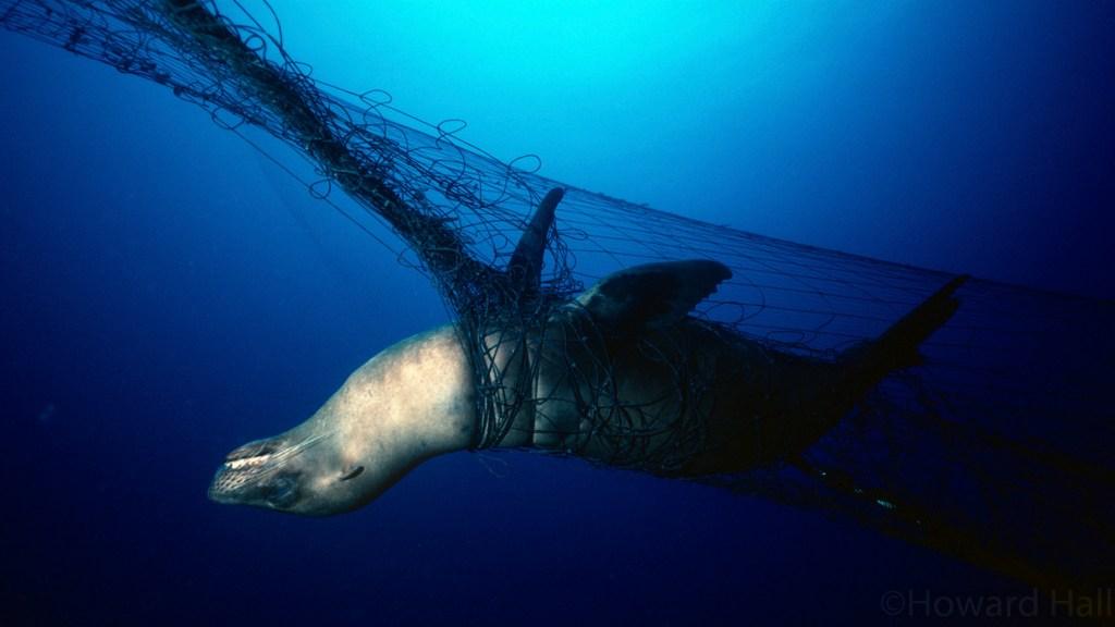 A sea lion entangled in a drift gill net off the California coast.